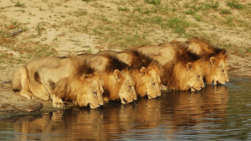 lion-drink